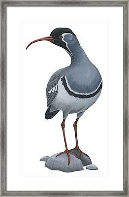 Ibisbill Framed Print by Anonymous