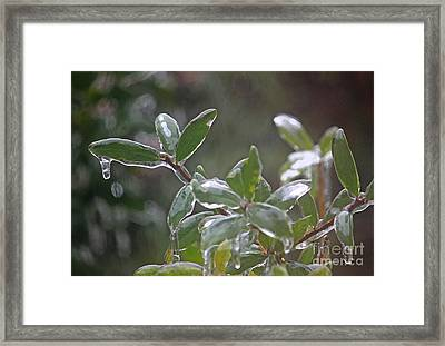 Ice Coated Holly II Framed Print by Suzanne Gaff