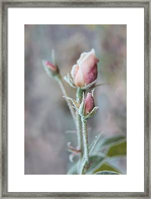Ice Princess Pink Rose Bud Framed Print by Jennie Marie Schell