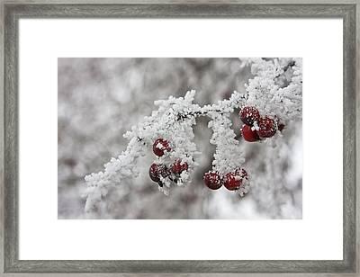 Iced Hawthorn Framed Print by Mark Kiver