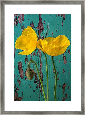 Iceland Poppies Against Green Wall Framed Print by Garry Gay
