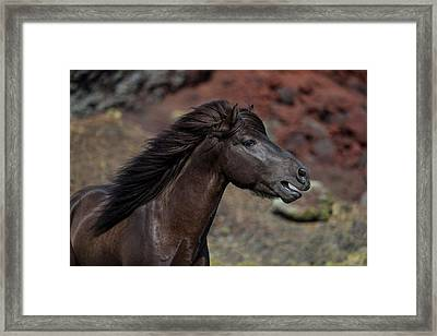 Icelandic Black Stallion, Iceland Framed Print by Panoramic Images