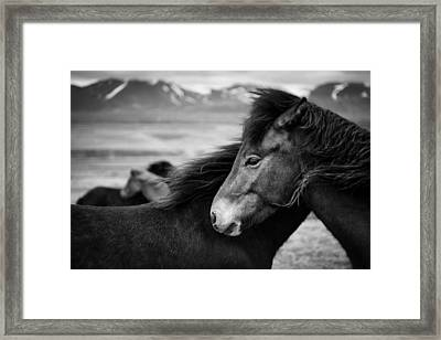 Icelandic Horses Framed Print by Dave Bowman