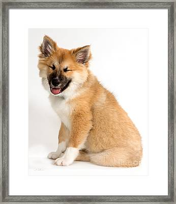 Icelandic Sheepdog Puppy Squinting Framed Print by Iris Richardson