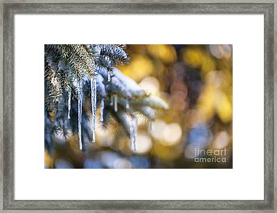 Icicles On Fir Tree In Winter Framed Print by Elena Elisseeva