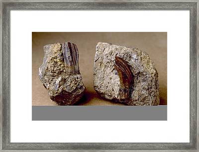 Iguanodon Dinosaur, Fossil Teeth Framed Print by Science Photo Library