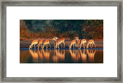 Impala Herd With Reflections In Water Framed Print by Johan Swanepoel