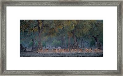 Impalas At Dawn Framed Print by Giovanni Casini