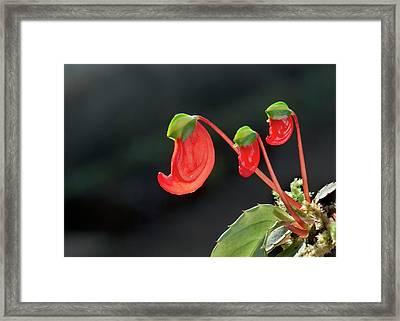 Impatiens Parasitica Flowers Framed Print by K Jayaram
