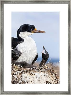Imperial Shag Also Called King Shag Framed Print by Martin Zwick
