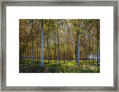 In Rank And File  Framed Print by Hannes Cmarits