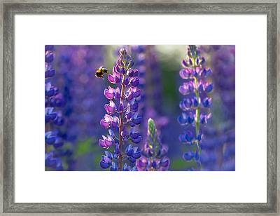 In The Land Of Lupine Framed Print by Mary Amerman