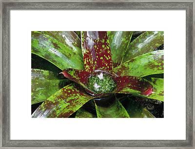 Inca Bromeliad Detail Framed Print by Gerry Ellis