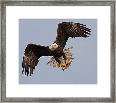 Incoming Eagle Framed Print by Martin Radigan