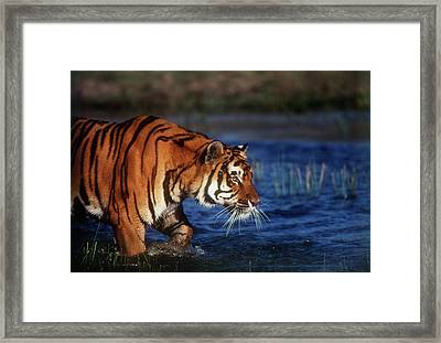 India, Bengal Tiger (panthera Tigris Framed Print by Stuart Westmorland
