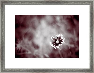Indian Blanket Flower Framed Print by Darryl Dalton