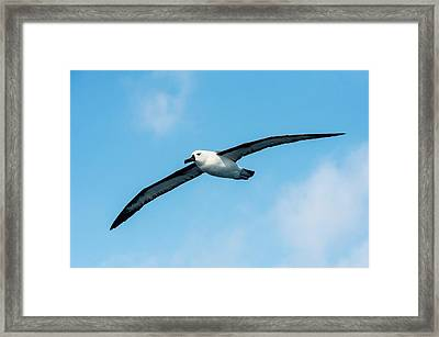 Indian Ocean Yellow-nosed Albatross Framed Print by Peter Chadwick