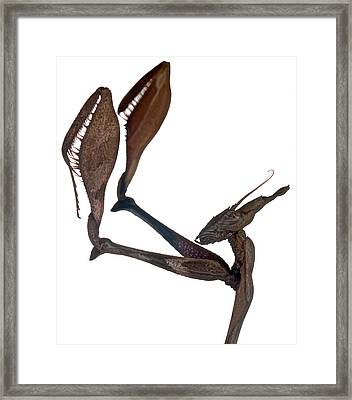 Indian Rose Mantis Gonglus Gongylodes Wondering Violin Mantis 3 Of 3 Framed Print by Leslie Crotty