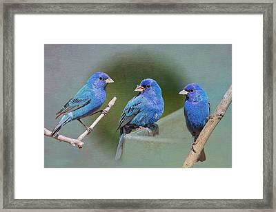 Indigo Buntings Framed Print by Bonnie Barry
