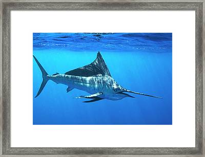 Indo-pacific Sailfish Framed Print by Christopher Swann