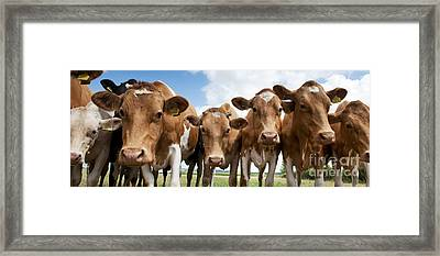 Inquisitive Cows Framed Print by Tim Gainey