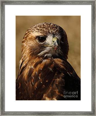 Red Tailed Hawk Portrait Framed Print by Robert Frederick