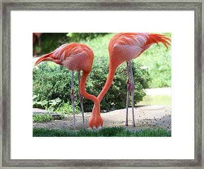 Intertwined Flamingoes Framed Print by Dan Sproul