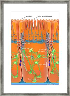 Intestinal Cell Junctions Framed Print by Science Photo Library