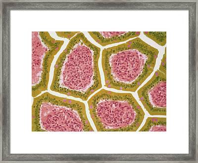 Intestinal Villi Framed Print by Steve Gschmeissner