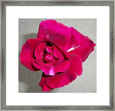Intrique Rose 1 Framed Print by Ron Kandt