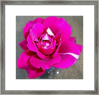 Intrique Rose 5 Framed Print by Ron Kandt
