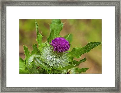 Invasive Purple Thistle On The Olympic Framed Print by Michael Qualls