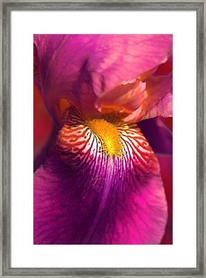 Iris Flower Fuchsia Pink Framed Print by Jennie Marie Schell