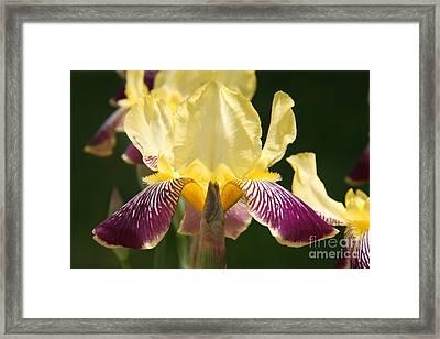 Iris Framed Print by Jolanta Anna Karolska