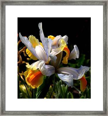 Iris Framed Print by Rona Black
