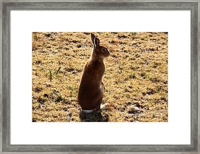 Irish Mountain Hare Framed Print by Aidan Moran