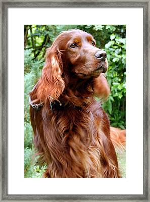 Irish Setter Framed Print by Anna Kennedy