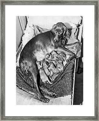 Irish Setter With 12 Puppies Framed Print by Underwood Archives