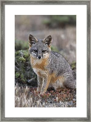 Island Fox California Framed Print by Ch'ien Lee