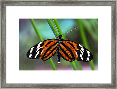 Ismenius Tiger Butterfly Framed Print by Cheryl Cencich