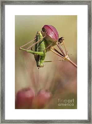 Isophya Savignyi Bush Cricket Framed Print by Alon Meir