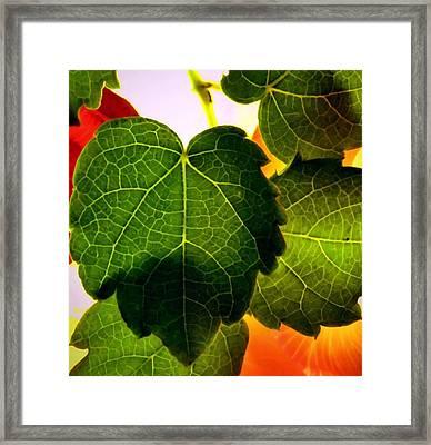 Ivy Light Framed Print by Chris Berry