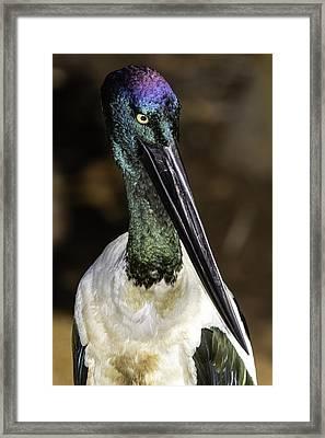 Jabiru Portrait Framed Print by Mr Bennett Kent