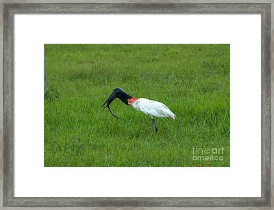 Jabiru Stork Swallowing An Eel Framed Print by Gregory G. Dimijian, M.D.