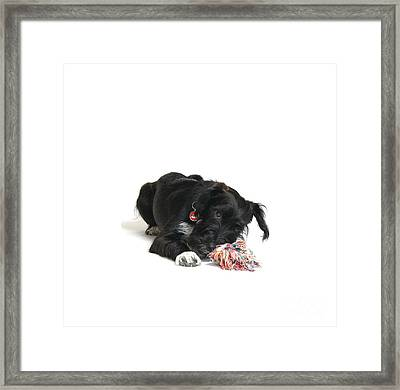 Jack-a-poo Puppy Framed Print by Gerry Pearce