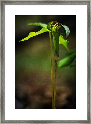 Jack-in-the-pulpit Framed Print by Rebecca Sherman