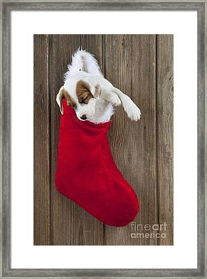 Jack Russell Puppy Sleeping Framed Print by John Daniels