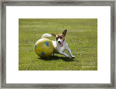 Jack Russell Terrier Plays With Ball Framed Print by Johan De Meester