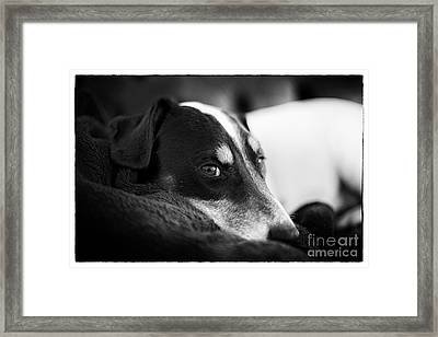 Jack Russell Terrier Portrait In Black And White Framed Print by Natalie Kinnear