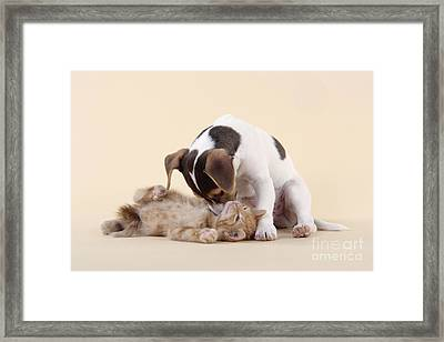 Jack Russell Terrier Puppy And Kitten Framed Print by John Daniels